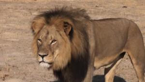 150727121814-cecil-the-lion-2-medium-plus-169